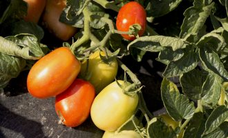 tomatoes_vegetable_garden